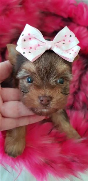 Chocolate Yorkshire terrier girl