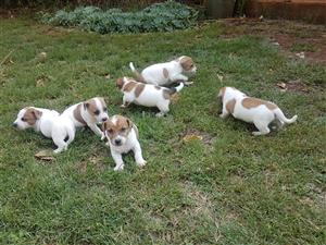 Jack Russels pure bred
