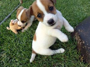 Jack Russel puppies, vaccinated.
