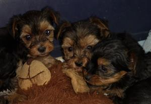 Beautiful Yorkshire Terrier miniature puppies 4x females