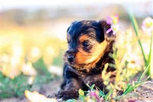 2 x Yorkshire Terrier Traditional Male Puppies For Sale
