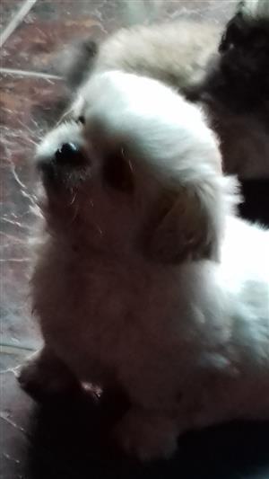 pikganese puppie