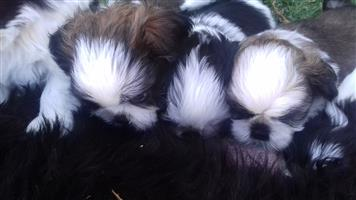 beautiful shi tzu puppies for sale