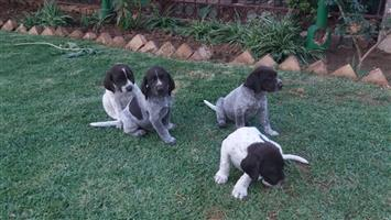 German Shorthaired Pointers -Puppies for Sale