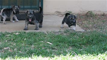 Cute Male Jack Schnauzer Puppies For Sale
