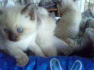 Color point and Lynxpoint and blue point kittens