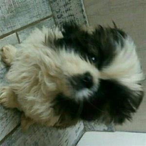 Adorable pekingese puppies