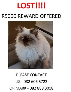 Lost, missing or stolen Persian Kitten