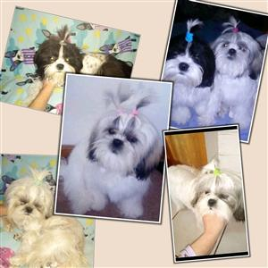 Beautiful imported Shih Tzu's for sale.