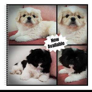 Pekingese Puppies for sale. Available Now