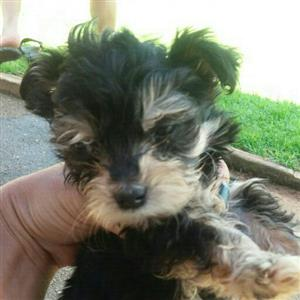 Morkie puppies boys