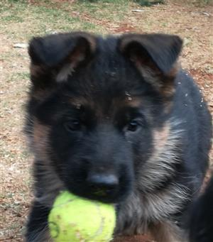 Stunning Registered Female GSD Puppies