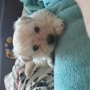 Maltiese puppies for sale