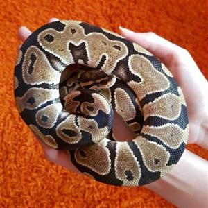 ballpythons male and female