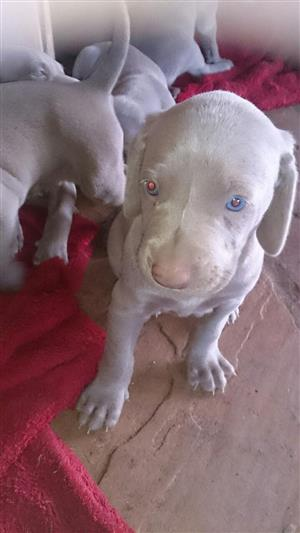 WEIMARANER PUPS 1 male left for booking