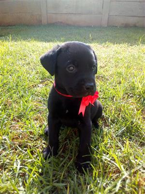 Beautiful black Labradors