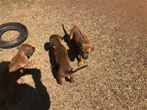 Rhodesian Ridge Back puppies