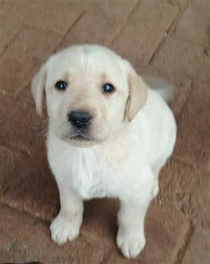Labrador hondjies
