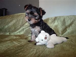 Yorkies (Yorkshire terrier) puppies