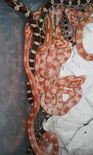 Corn Snake Hatchlings Available