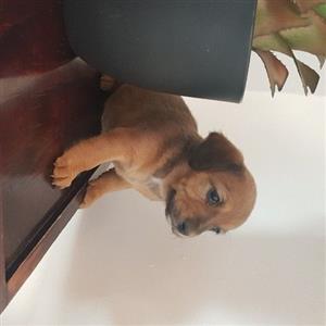 dachshund mini puppies