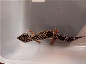 3 x Leopard Gecko and accessories