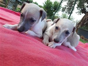 Whippet pups for sale!