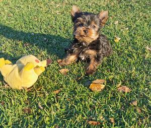 Male Yorkie puppies