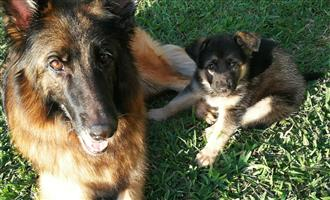 German Shepard Puppies-2 females left
