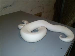 Blue eyed leucistic ball python male
