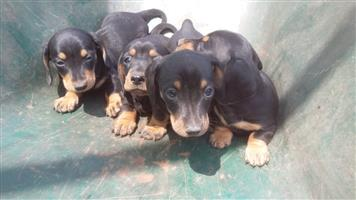 Pedigree dutchound puppies