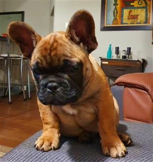 1 x French Bulldog puppy for Sale