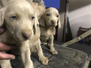 Weimeraner puppies for sale
