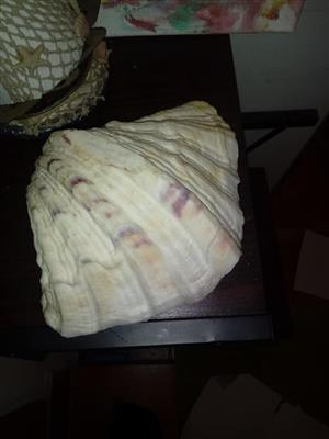 Large seashell for sale
