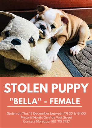 Stolen English Bulldog Puppy