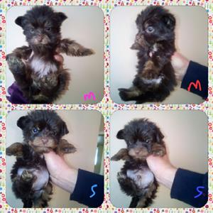 Teacup Yorkies Yorkshire Terrier