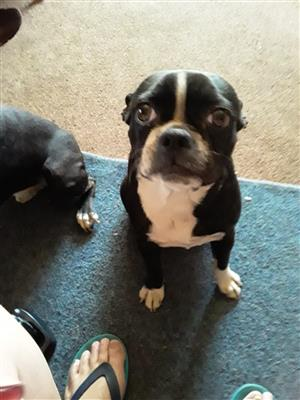 3 gorgeous Boston Terrier puppies