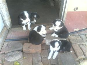 Border collies