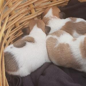 Jacky puppies