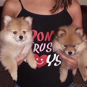 Toy Pom / Pomeranian