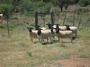 Dorper Ewes for sale