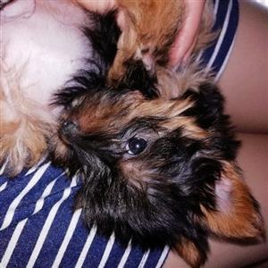 miniature Yorkie pups