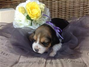 Beagle Puppies KUSA Registered