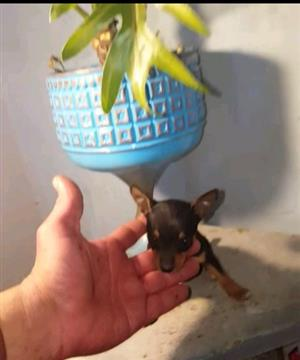 Miniature Doberman Pincher Bokkie Pocket Size Very Small Kind