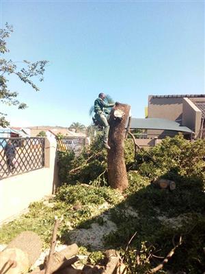 Daniel tree felling