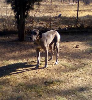 Great Dane adult male and female