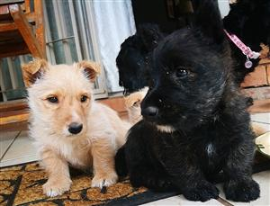 Pure bred Scottish Terrier Pups for sale