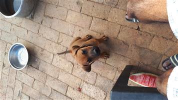 Rhodesian Ridgeback pups
