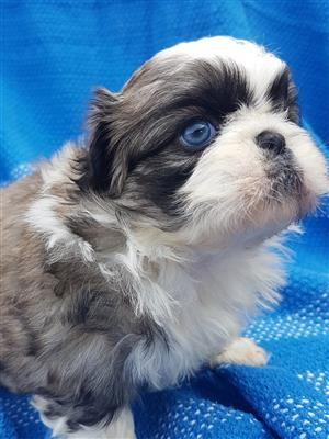 Pekingese puppies for sale. Miniatures