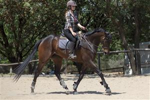Competitive dark bay mare ready to compete graded level